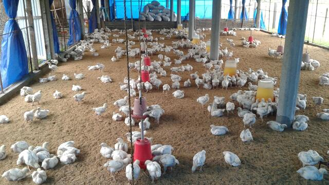 Chickens_in_poultry_farm.jpg